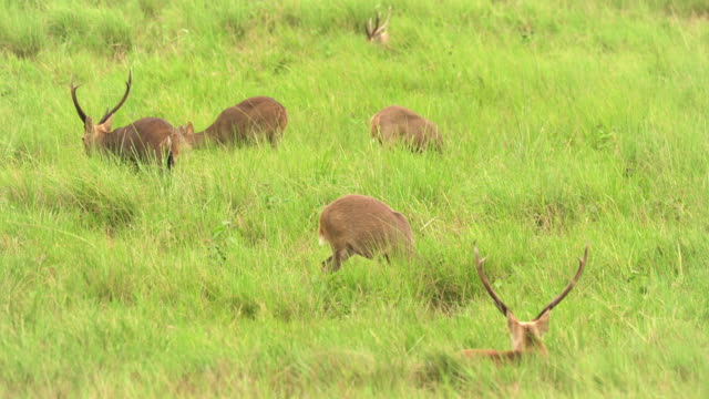 herd of deer continue eating - fawn stock videos & royalty-free footage