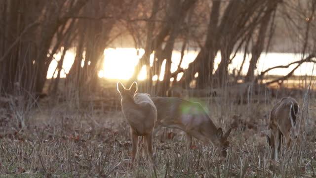 vidéos et rushes de herd of deer grazing in field along river at sunrise - petit groupe d'animaux