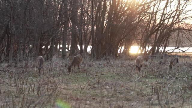 vidéos et rushes de herd of deer grazing in front of sunset - petit groupe d'animaux