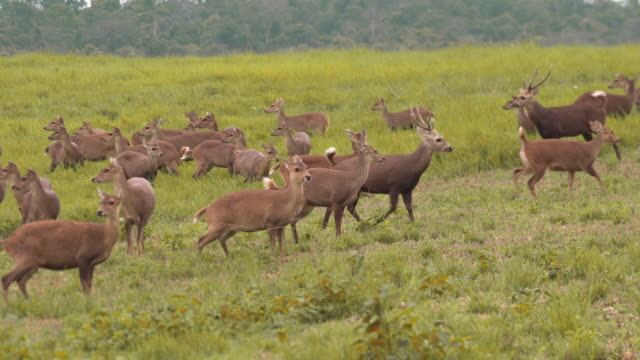 herd of deer in environmental conservation under raining day - wildlife conservation stock videos & royalty-free footage