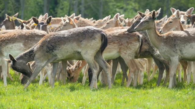 herd of deer on grass in phoenix park dublin ireland - ireland stock videos and b-roll footage