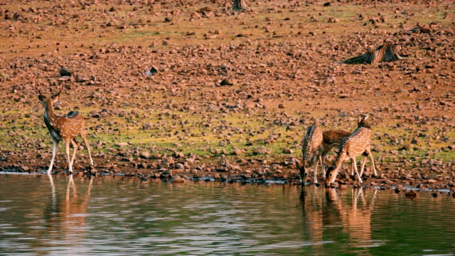 a herd of deers drinking water from the lake in indian forest - fuggire video stock e b–roll