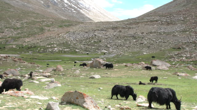 Herd of domestic yaks grazing around Tso Ltak lake in the region of Changtang, Ladakh, India