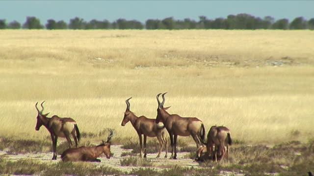 WS Herd of Eland relaxing in grass / Etosha National Park, Namibia