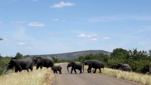 herd of elephant crossing a road, kruger national park, south africa - überqueren stock-videos und b-roll-filmmaterial