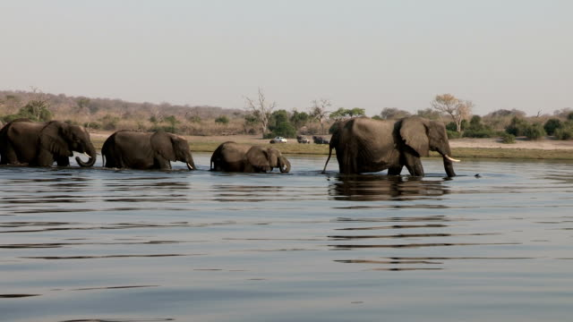 herd of elephant crossing the chobe river.chobe national park.botswana - elephant stock videos & royalty-free footage