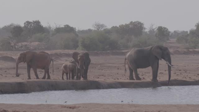 vidéos et rushes de herd of elephants / africa - plaque de montage fixe