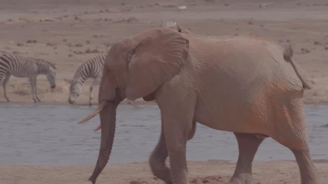 herd of elephants / africa - växtätare bildbanksvideor och videomaterial från bakom kulisserna