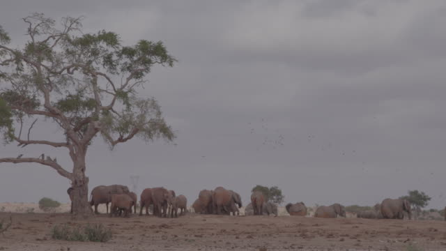 herd of elephants / africa - placca di montaggio fissa video stock e b–roll