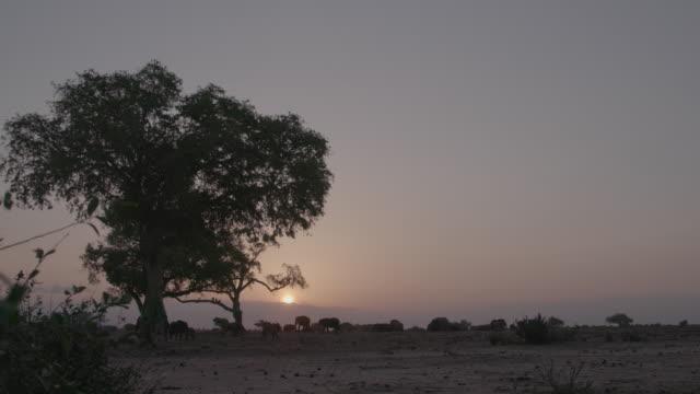 vidéos et rushes de herd of elephants at sunset / africa - plaque de montage fixe