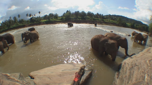 stockvideo's en b-roll-footage met ws herd of elephants bathing in river, pinnewala, sri lanka - groothoek