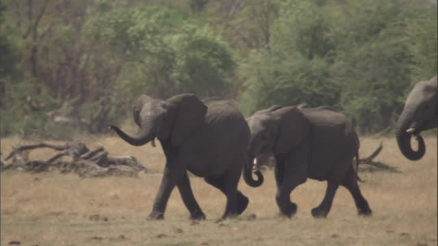 A herd of elephants charges across a grassy plain. Available in HD.
