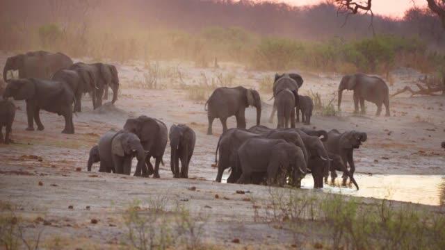 stockvideo's en b-roll-footage met herd of elephants drinking  from a water pools  hwange national park  zimbabwe - neus van een dier