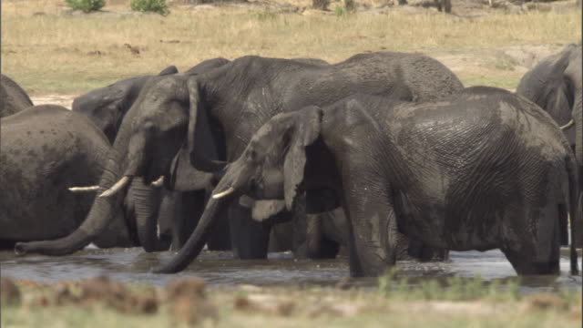 A herd of elephants drinks at a watering hole. Available in HD.