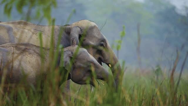 stockvideo's en b-roll-footage met een kudde olifanten die en modder het baden in kaziranga nationaal park in slow motion voeden - olifant