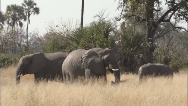 A herd of elephants feeds in the grass.