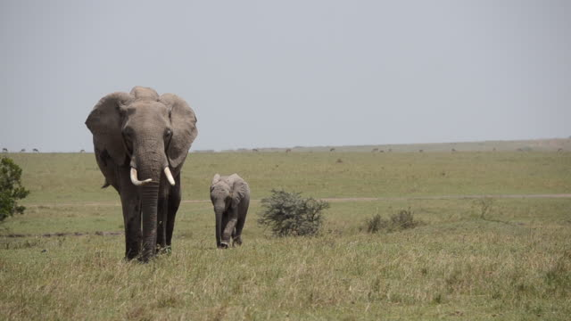 a herd of elephants grazing and walking in the plains of africa inside masai mara national reserve during a wildlife safari - natural parkland stock videos & royalty-free footage