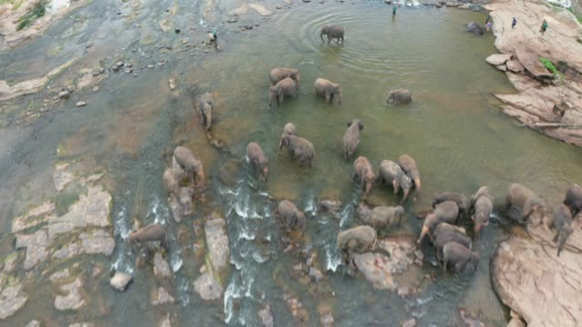 herd of elephants in the jungle river. pinnawala elephant orphanage. sri lanka. aerial view - threatened species stock videos & royalty-free footage