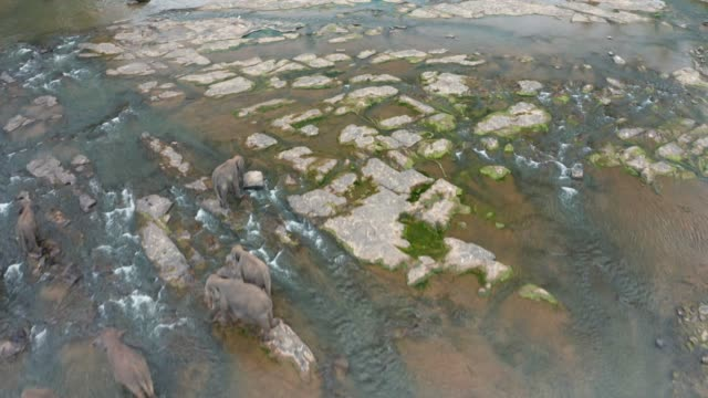 herd of elephants in the jungle river. pinnawala elephant orphanage. sri lanka. aerial view - 絶滅の恐れのある種点の映像素材/bロール