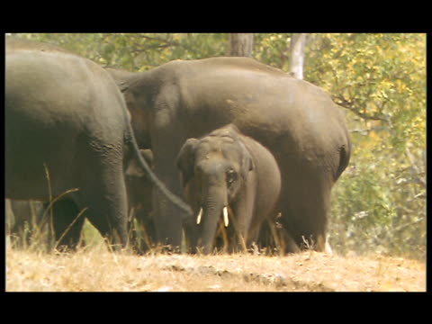 a herd of elephants, including a baby elephant, stand huddled together in a grassy area. - 超高精細点の映像素材/bロール