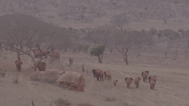 herd of elephants / kenya, africa - placca di montaggio fissa video stock e b–roll