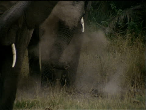 a herd of elephants kicks up dust. - animal nose stock videos & royalty-free footage
