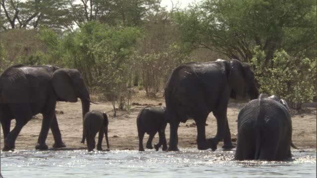 vídeos y material grabado en eventos de stock de a herd of elephants leaves a water hole. - nariz de animal