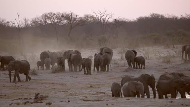 stockvideo's en b-roll-footage met herd of elephants makeing a sand bath  hwange national park  zimbabwe - neus van een dier