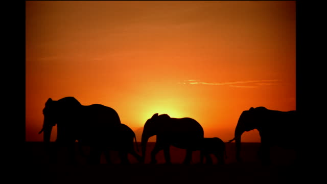 vídeos de stock, filmes e b-roll de a herd of elephants migrates across the savanna at sunset. - elefante