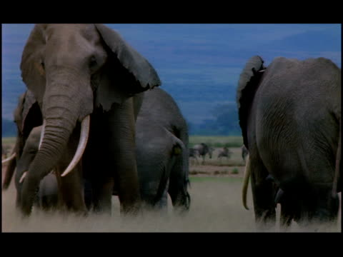a herd of elephants roams a grassy plain. - zoologia video stock e b–roll