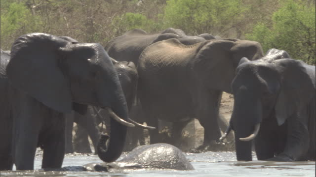 a herd of elephants splashes as it wades through a watering hole. available in hd. - menschliche gliedmaßen stock-videos und b-roll-filmmaterial