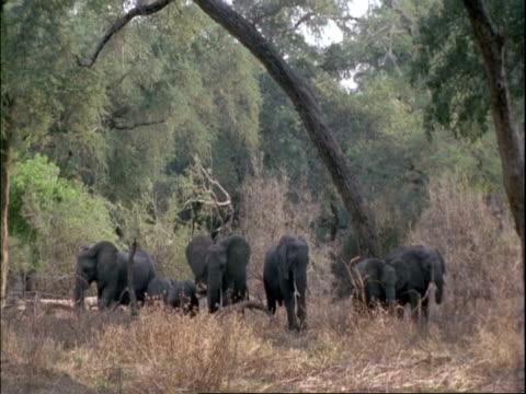mwa herd of elephants standing amongst trees flapping ears, mana pools, zimbabwe - 厚皮動物点の映像素材/bロール