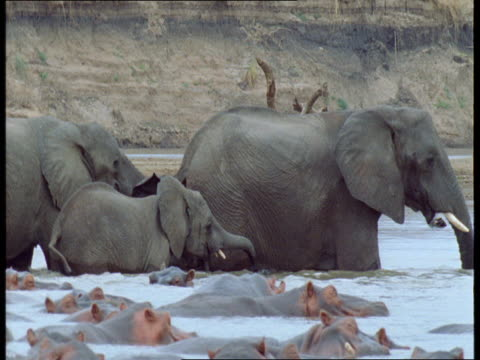 a herd of elephants wades past hippos in a shallow river. - naso di animale video stock e b–roll