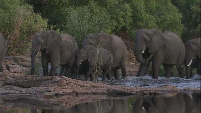 herd of elephants walk in shallow water, victoria falls, zimbabwe - herd stock videos & royalty-free footage
