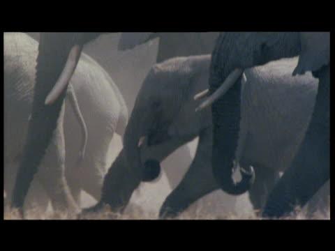 herd of elephants walk over dusty savanna - babyhood stock videos & royalty-free footage