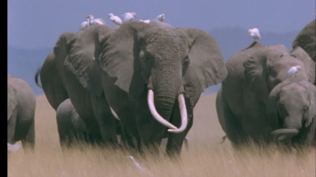herd of elephants walk to camera carrying cattle egrets on their backs, amboseli national park, kenya available in hd. - herd stock videos & royalty-free footage