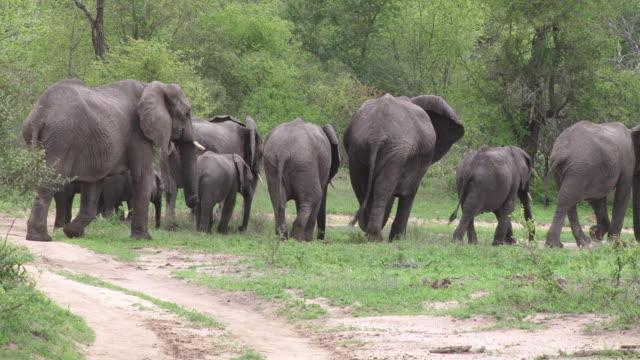 MS Herd of elephants walking away in green bushveld / Kruger National Park, Mpumalanga, South Africa
