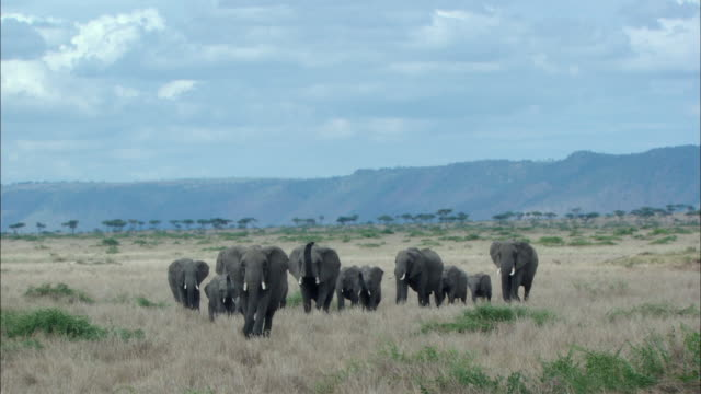 ws herd of elephants walking / kenya - approaching stock videos & royalty-free footage