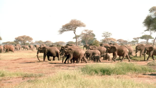 a herd of elephants walks across the african savanna. - herd stock videos & royalty-free footage