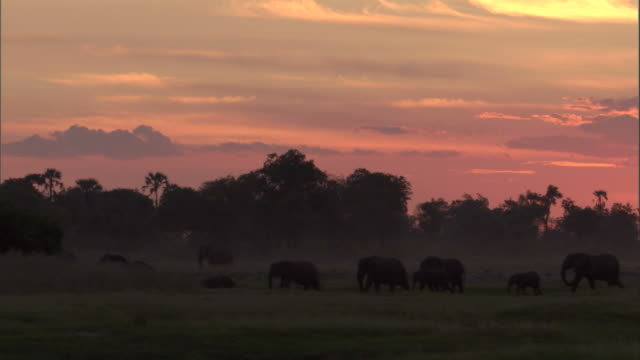 a herd of elephants walks single file across grasslands. available in hd - in a row stock videos & royalty-free footage