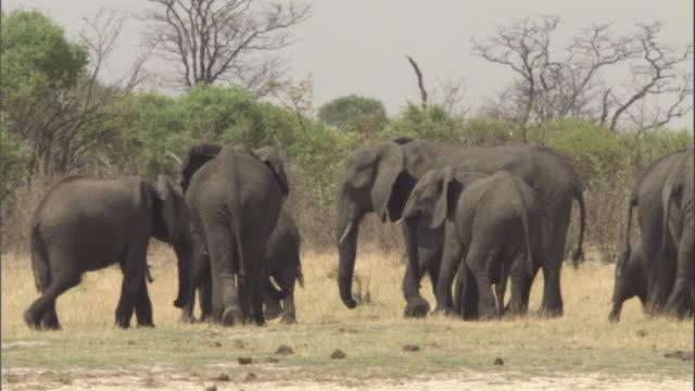 vidéos et rushes de herd of elephants wandering on the savanna / botswana - elephant