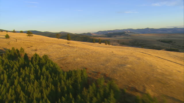 vídeos de stock, filmes e b-roll de ws aerial zi ds herd of elk moving on golden hills in lolo national forest / st. ignatius, montana, united states - north america