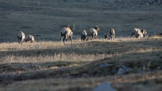 Herd of elk on tundra in Rocky Mountain NP, Colorado