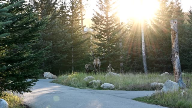 herd of elk or wapiti walking into the pine forest at sunset on jasper national park - elk stock videos & royalty-free footage