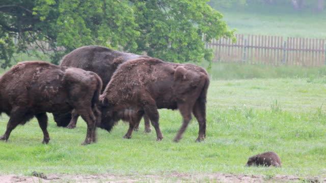 Herd of european bisons - wisents.