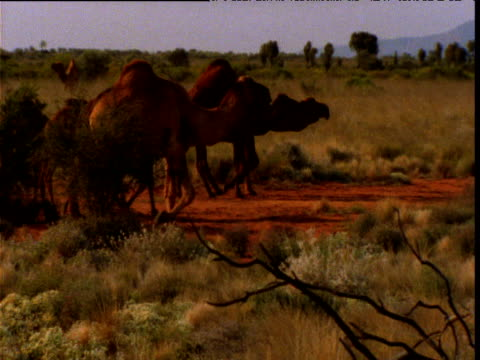 herd of feral dromedary camels wander over outback, northern territory, australia - camel stock videos & royalty-free footage