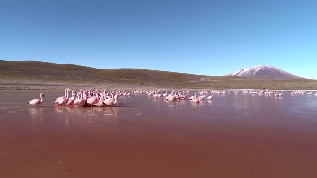 herd of flamingo at red lake (laguna colorada) in altiplano / bolivia - eco tourism stock videos & royalty-free footage