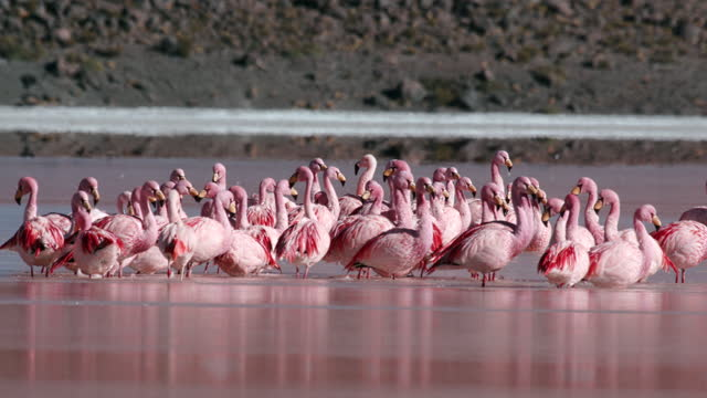 herd of flamingo on red lake (laguna colorada) in altiplano / bolivia - animal mouth stock videos & royalty-free footage