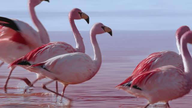 herd of flamingo walking on red lake (laguna colorada) in altiplano / bolivia - tierkörper stock-videos und b-roll-filmmaterial