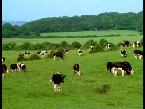 vidéos et rushes de wa herd of friesian cows grazing in field, england - mâcher